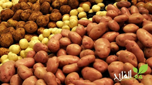 تحضير الارض للخضروات الموسمية البطاطس