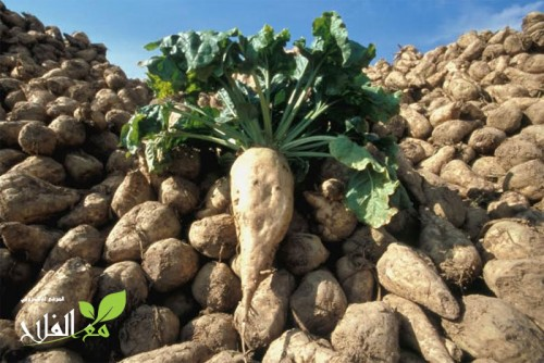 الاعشاب الاكثر تاثيرا في زراعة الشمندر السكري