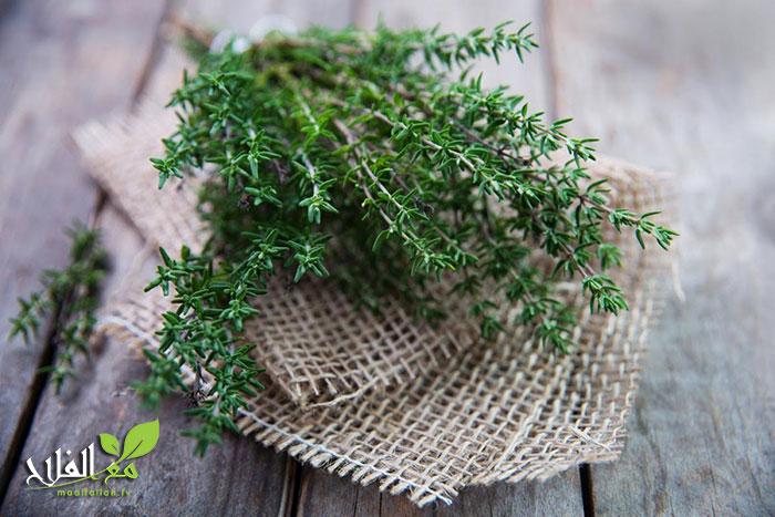 الزعتر: النبات المعجزة الذي لم يستغني عليه الطب منذ قرون
