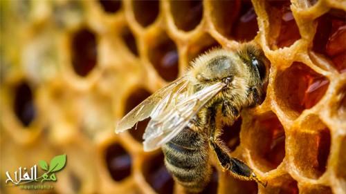 عملية الترحال عند النحل