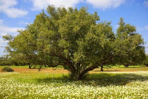 """تأهيل الأركان الغابوي بعد إطلاق سلسلة الأركان الزراعي ضمن الاستراتيجية الطموحة ل""""مخطط المغرب الأخضر"""""""