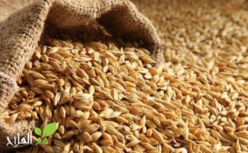 المغرب: إنتاج الحبوب بلغ 96 مليون قنطار خلال الموسم الفلاحي 2016-2017