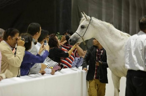 أرقى سلالات الخيول العربية تتنافس في الدورة 12 من معرض دبي الدولي للخيل.