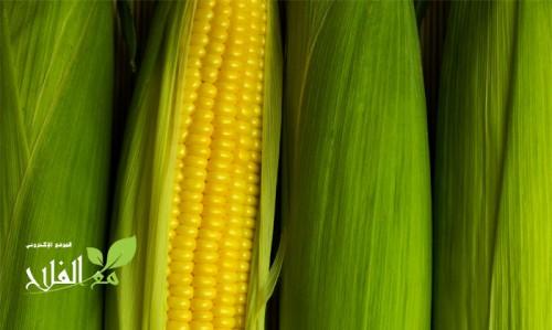 معدلات التسميد في زراعة الذرة