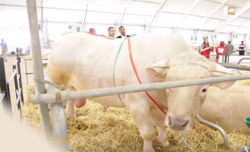 1300 كيلوغرام : حجم يضع الثور مسعود محط أنظار الزوار برواق الماشية