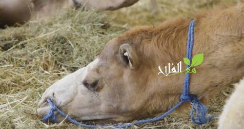 ياغورت حليب الإبل .. من بين المنتوجات الفريدة الذي يكتشفها زوار الملتقى الدولي للفلاحة في مكناس