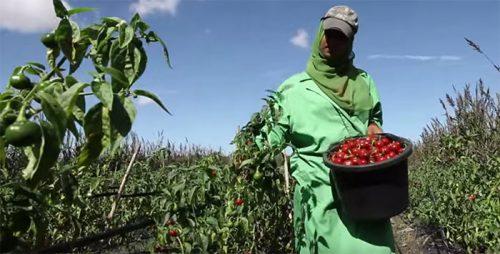 فيديو.. التجميع الزراعي في المغرب