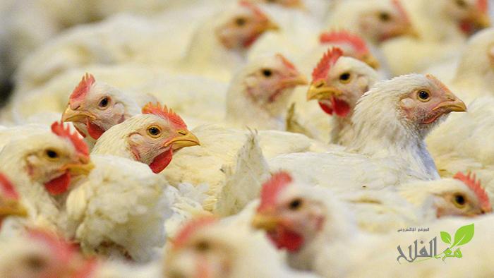 FISA تنفي تأثيرات موجة الشركي على الدجاج