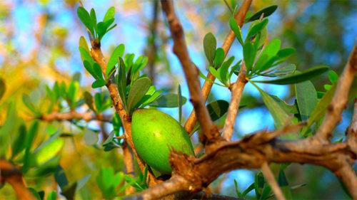 مدينة الرشيدية تستقبل أول ندوة دولية حول فوائد شجرة الأركان
