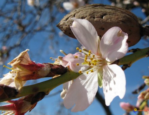شجرة اللوز تزهر و ساكنة مدينة تافراوت تحافظ على الموعد