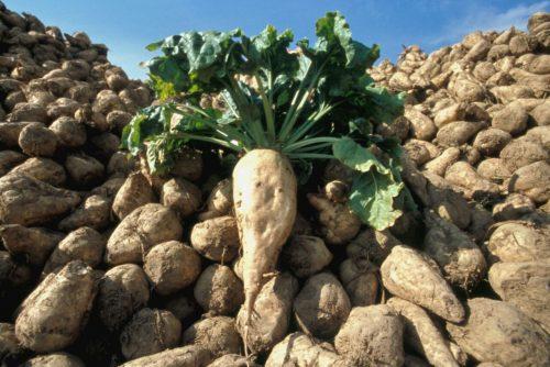 الغرب: ارتفاع بنسبة 8، 4 في إنتاج الزراعات السكرية برسم الموسم 2016 2017
