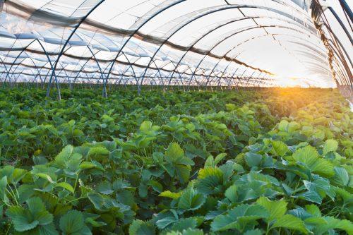 الدوحة…توزيع بيوت محمية جديدة على المزارع للنهوض بالزراعة المحمية