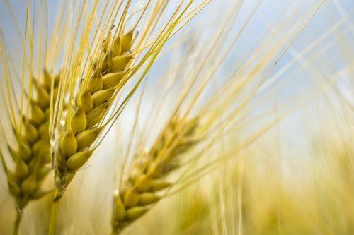المغرب يتجه نحو استيراد 4.9 مليون طن من القمح…رغم الموسم الفلاحي الجيد