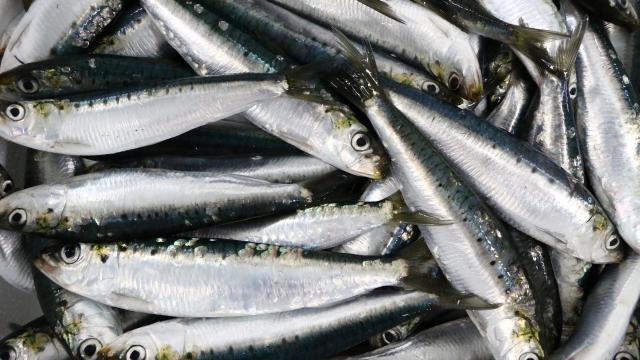دراسة دولية.. الثروة السمكية المغربية في وضعية حرجة
