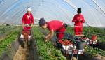 إسبانيا ترخص ل 10 آلاف و400 عقد عمل جديد لمزارعين موسميين مغاربة