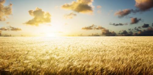 اكتشاف أنواع من القمح الصلب تتحمل درجات حرارة مفرطة