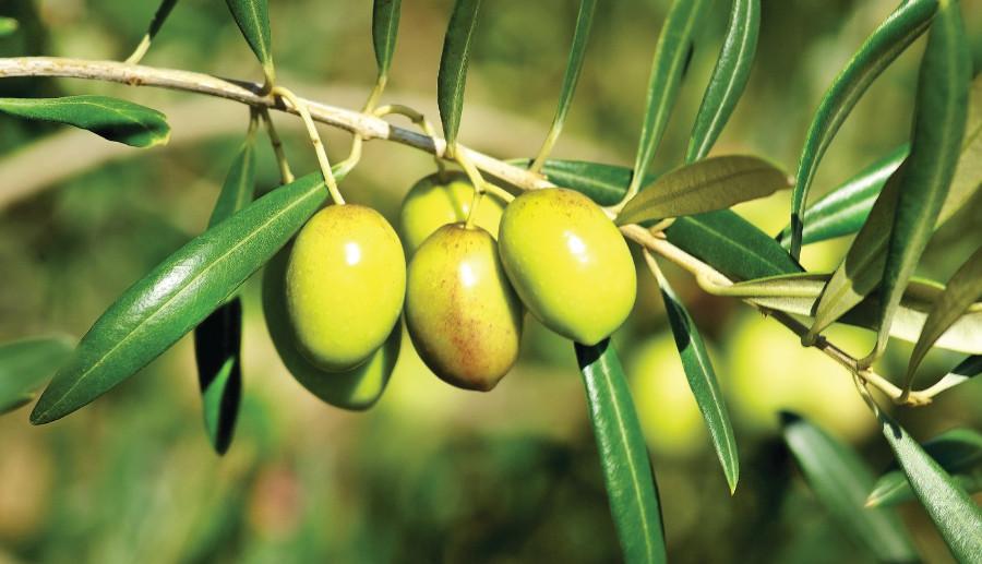 إعطاء انطلاقة مشروع غرس أشجار الزيتون على مساحة 300 هكتار بعمالة وجدة أنجاد