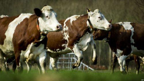 """أغرب 5 سلالات أبقار في العالم """" لن تصدق وجودها"""
