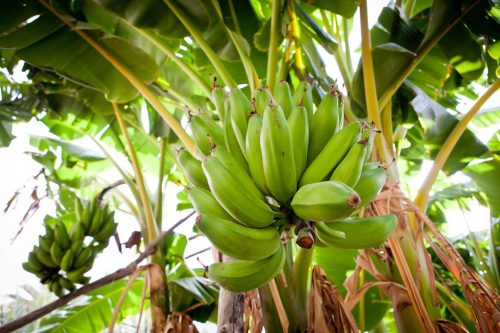 تكوين في التقنيات الحديثة لزراعة الموز يستفيد منه فلاحون بمنطقة الغرب