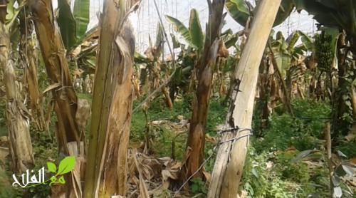 الرياح تتسبب في خسارة كبيرة بالنسبة لي ضيعات الموز بمنطقة الغرب