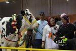 البقرات البطلات للملتقى الدولي للفلاحة 2018 بمكناس