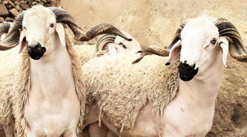 تدابير احترازية لضمان سلامة أضحية العيد وهيئة الصيادلة تدخل على الخط…