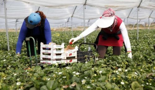 """2000 عاملة في الحقول الفراولة الإسبانية قررن """"الحريك"""""""