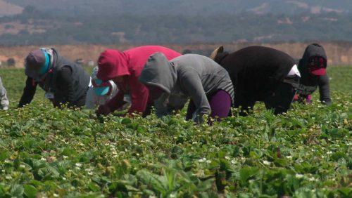 بعد المغربيات… إسبانيات ينددن بالاعتداءات الجنسية في حقول الفراولة