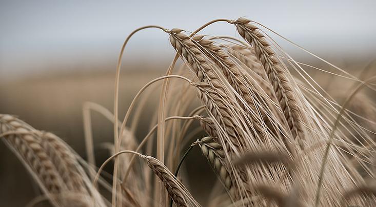 المكتب الجهوي للاستثمار الفلاحي لتادلة يبرمج 650 ألف هكتار لزراعة الحبوب الخريفية بالجهة