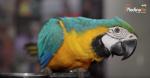 بغبغاء كيهدر بأي لغة و كيشطح و اثمنة خيالية من المهرجان الدولي للطيور بالقنيطرة